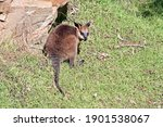 The Joey Swamp Wallaby Has A...