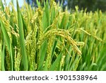 Mature Rice In The Field Of...