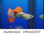 Snakeskin Guppies Male Fish In...