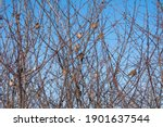 Winter Bush Branches With...