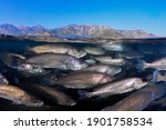 Small photo of School of Meagre (Argyrosomus regius) Mediterranean sea.Fish farming.