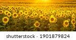 Sunflower Field Bathed In...