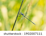 Macro Of Blue Damselfly Insect...