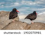 A Pair Of Black Oystercatcher...