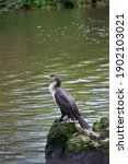 Young Great Cormorant ...