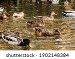 A Large Flock Of Ducks Eats...