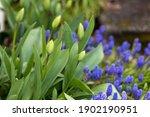 Tulip Buds And Purple Hyacinth...