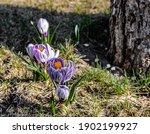 Purple Crocuses Are Not Yet...