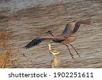 Great Blue Heron Flying In...