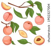 apricots or peaches on tree...   Shutterstock .eps vector #1902327004