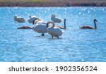 A White Mute Swans With Orange...