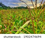 A Cornfield With A Sunset In...
