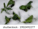 "Leucanthemum Vulgare Aka ""oxeye ..."