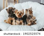 Four Cute  Yorkshire Terrier On ...
