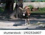 European Moufflon  Mouflon  In...
