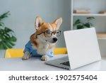 Cute corgi dog looking into...