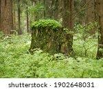 An Old Stump Among Green Grass...