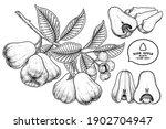 set of rose apple fruit hand... | Shutterstock .eps vector #1902704947