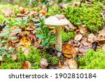 Edible Small Mushroom With...