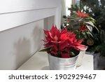 Poinsettia Plant   Christmas...