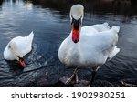 Mute Swan From Lake Shidaka In...