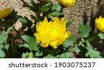 Yellow Dahlia In Garden....