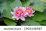 Red Water Lily In Full Bloom