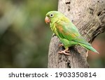 Orange chinned parakeet is...