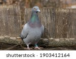 Pigeon Standing On A Mesh In...