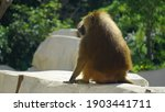 A Guinea Baboon Relaxing And...
