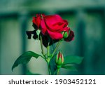 Delicate Red Rose With Buds On...