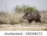 Wild Pig Like Animal  Collared...