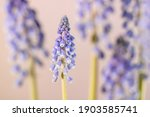 Grape Hyacinths  Muscari...