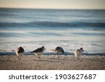 4 Little Sandpipers Hanging Out ...