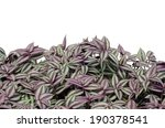 Tradescantia Zebrina Isolated...