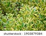 euonymus aureomarginata foliage.... | Shutterstock . vector #1903879384