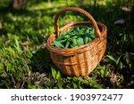 Wild Garlic  Allium Ursinum ...