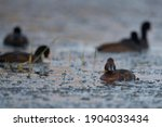 The Ferruginous Ducks In Wetland