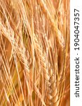 Barley Field With Beautiful...