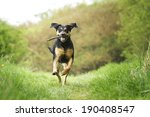Stock photo rottweiler dog running in spring nature 190408547