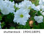 White Petunias Bloom Among...