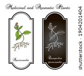 ipecacuanha  carapichea...   Shutterstock .eps vector #1904201404