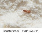 Red insect weevil appeared in...