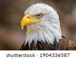 Bald Headed Eagle  Close Up...