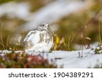 This Ptarmigan Was Seen While...