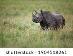 A black rhinoceros  diceros...