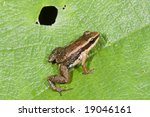 Small photo of Allobates insperatus frog from ecuador