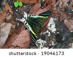 Urania Leilus Butterfly From...