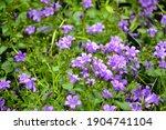 campanula bellflowers. purple... | Shutterstock . vector #1904741104