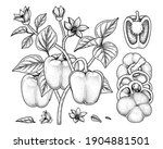 set of bell pepper hand drawn... | Shutterstock .eps vector #1904881501